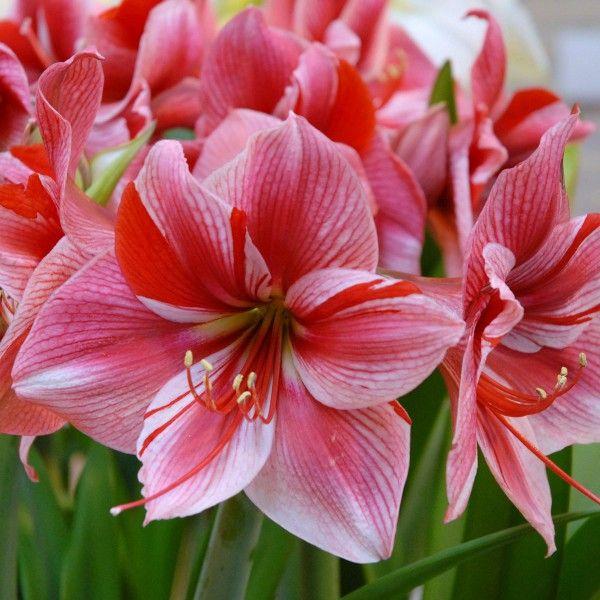 678 best flowers amarillis images on pinterest. Black Bedroom Furniture Sets. Home Design Ideas