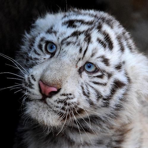 White Tiger Population Dwindling After 500 Years | Knightlife