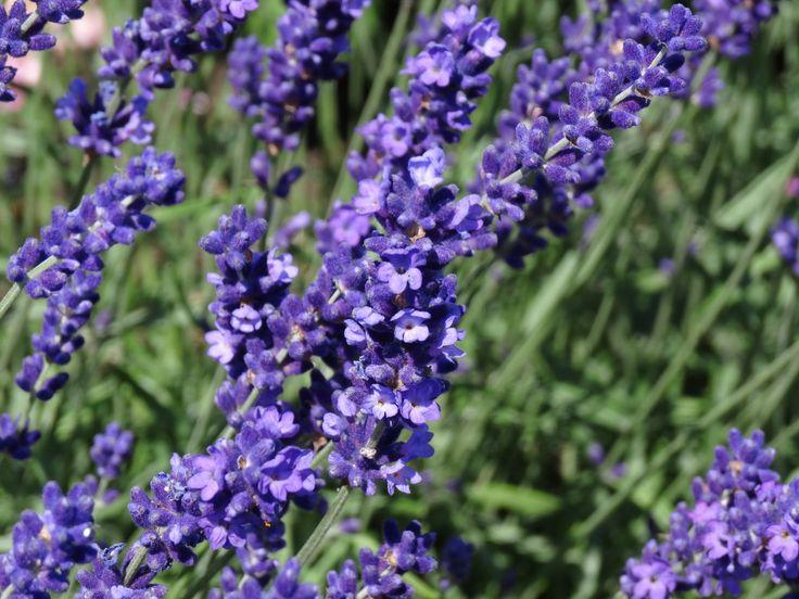 Echter Lavendel - Die ätherischen Öle wirken antibakteriell und antiviral. Lavendel hilft bei Innere Unruhe, Schlafstörungen, Migräne, bei nervösen Magen- Darm und Gallenbeschwerden #Lavendel #Lamiaceae #Lavandula #angustifolia #Lippenbluetler #lila #Heilpflanze #Heilpflanzen