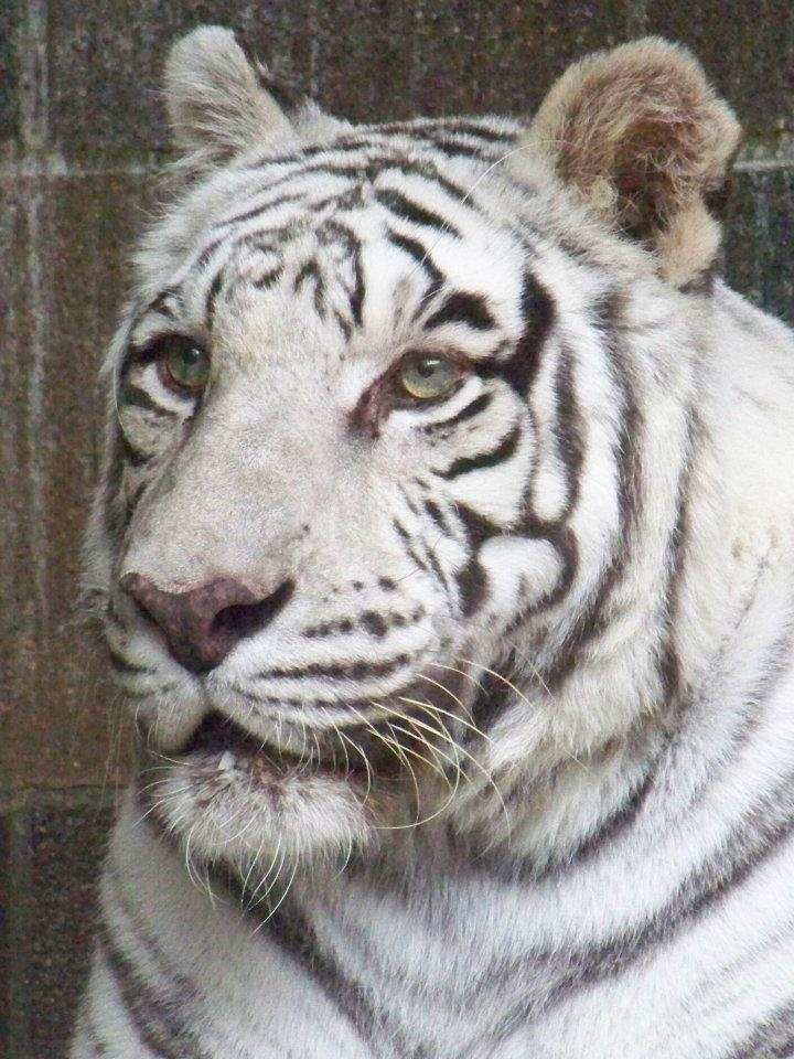 38 best images about Albino tigers on Pinterest | Golden ...