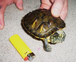 Caring for Water Turtles