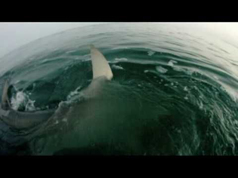 VIDEO: a guy fishing in FL and encounters a hammerhead. Pretty cool footage.