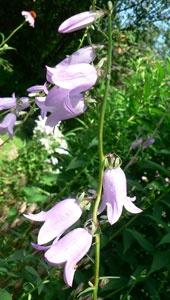 Bell Flower in our Hummingbird Flower Garden