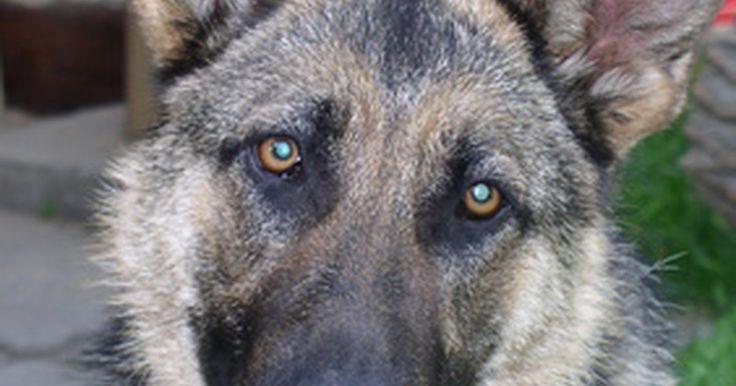 Como limpar as orelhas de um pastor alemão. Os pastores alemães são cães de grande porte que podem ser ótimos companheiros. Cuidar de um pastor alemão corretamente é uma parte importante em ser o dono de um cão. Alimentar, caminhar e escovar são apenas algumas das coisas mais básicas que podem ser feitas para cuidar de um cão. Limpar as suas orelhas também é uma parte muito importante de ...