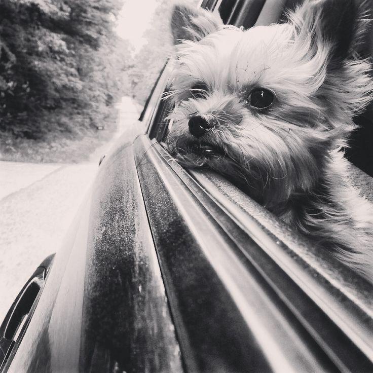 Road Trip | A community of Yorkshire Terrier lovers!