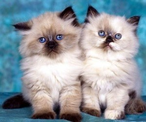 Two pretty cute birman kittens.  I just want to kiss them on the nose.