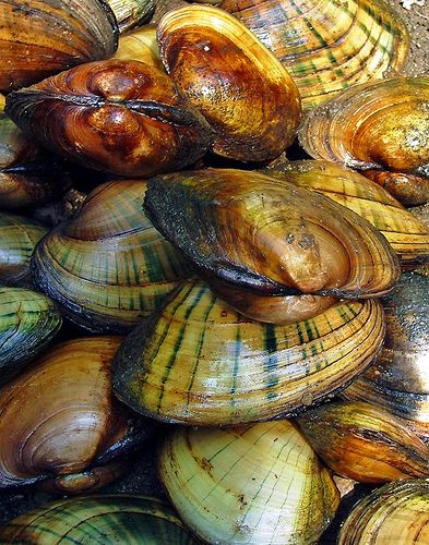 filter feeders- clams