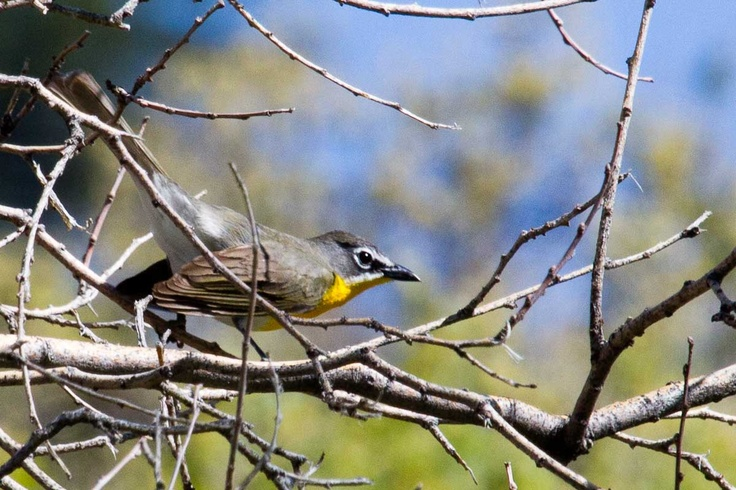 Yellow-Breasted Chat - Boulder, Colorado  ©Dave Christenson . Photo taken during Wild Bird Center of Boulder, CO Saturday Morning Bird Walk in Boulder County - May 25, 2013.