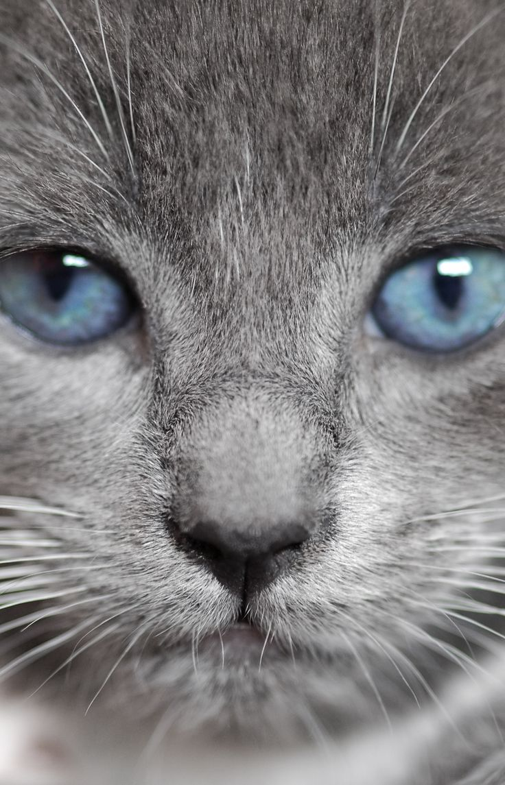 25  Adorable Gray Cat with Blue Eyes