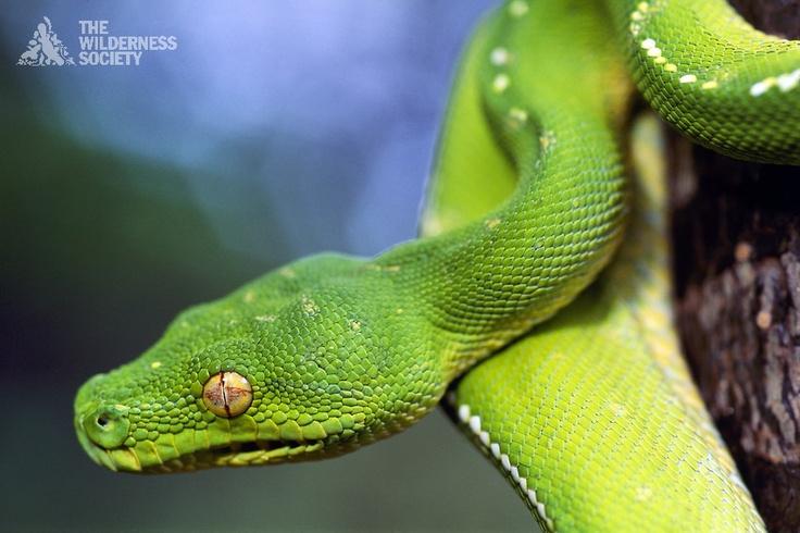 Emerald Python in Kutini-Payamu (Iron Range) National park. Photographer: Kerry Trapnell