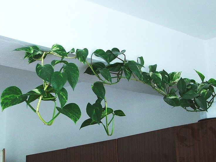 train a golden pathos vine indoors with small hooks and fishing line for support - House Plants Vines