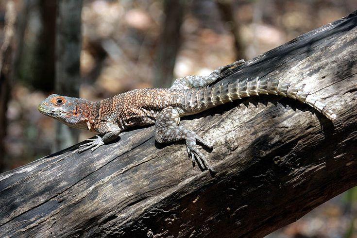 es Iguanes ou Iguania sont des reptiles, qui font partie du Sous-Ordres des Sauria, qu'on connait aussi communément sous le nom de lézards