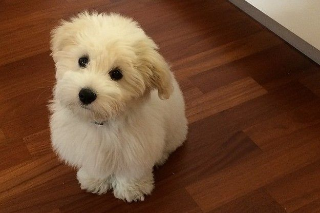That's coton, like in French. And they are balls of pure fluff and love! (Breed: Coton de Tulear)