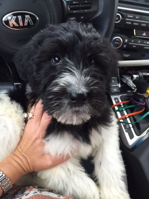 Angela's Schnoodles - Giant Schnoodle Puppies for Sale!