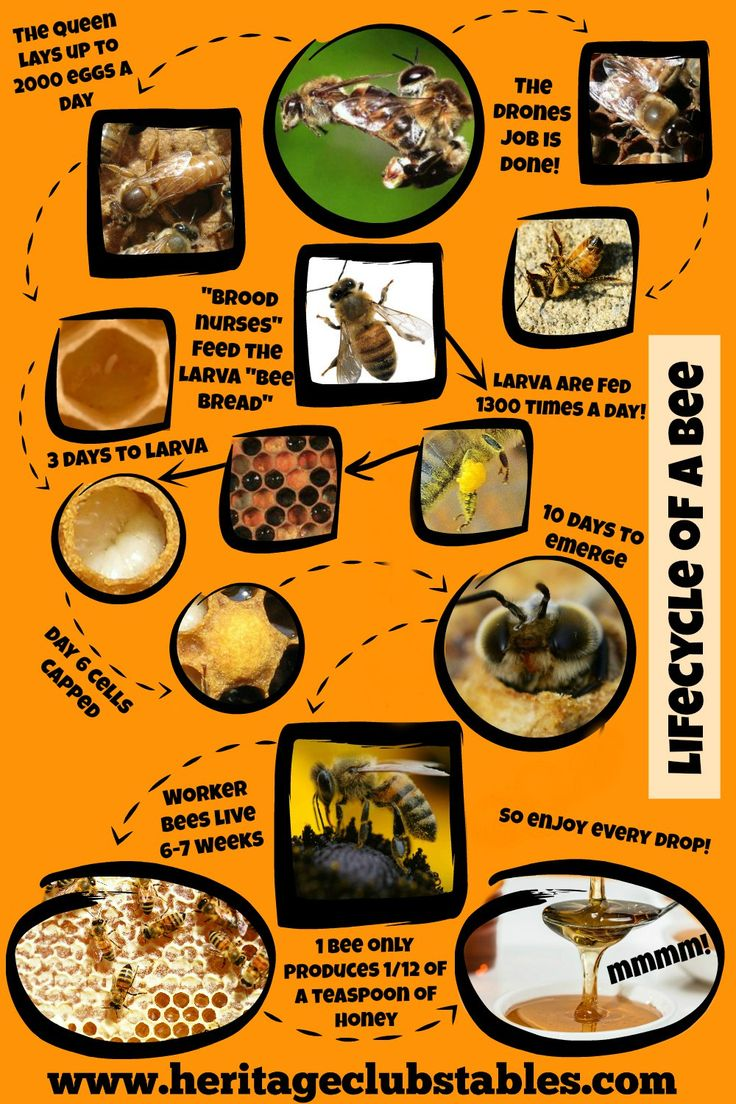 Honey bee life cycle Watch the included video of a look in my hive ten days after I installed a bee package!