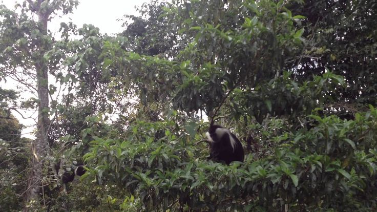 The Ruwenzori Colobus Monkeys at the Gisakura Tea Estates in Rwanda.