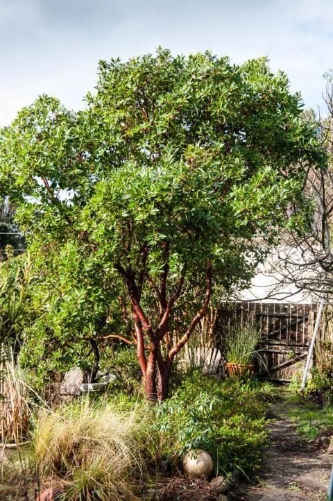 Arbutus X Marina Strawberry Tree Native Nurseries