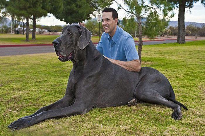 Resim Bul | Köpek | Dünyanın En Büyük Köpek Resimleri