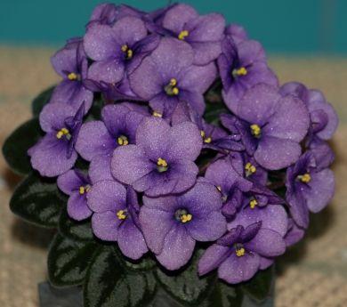 Robs Fuddy Duddy African Violet