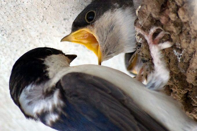 Fütternde Mehlschwalbe
