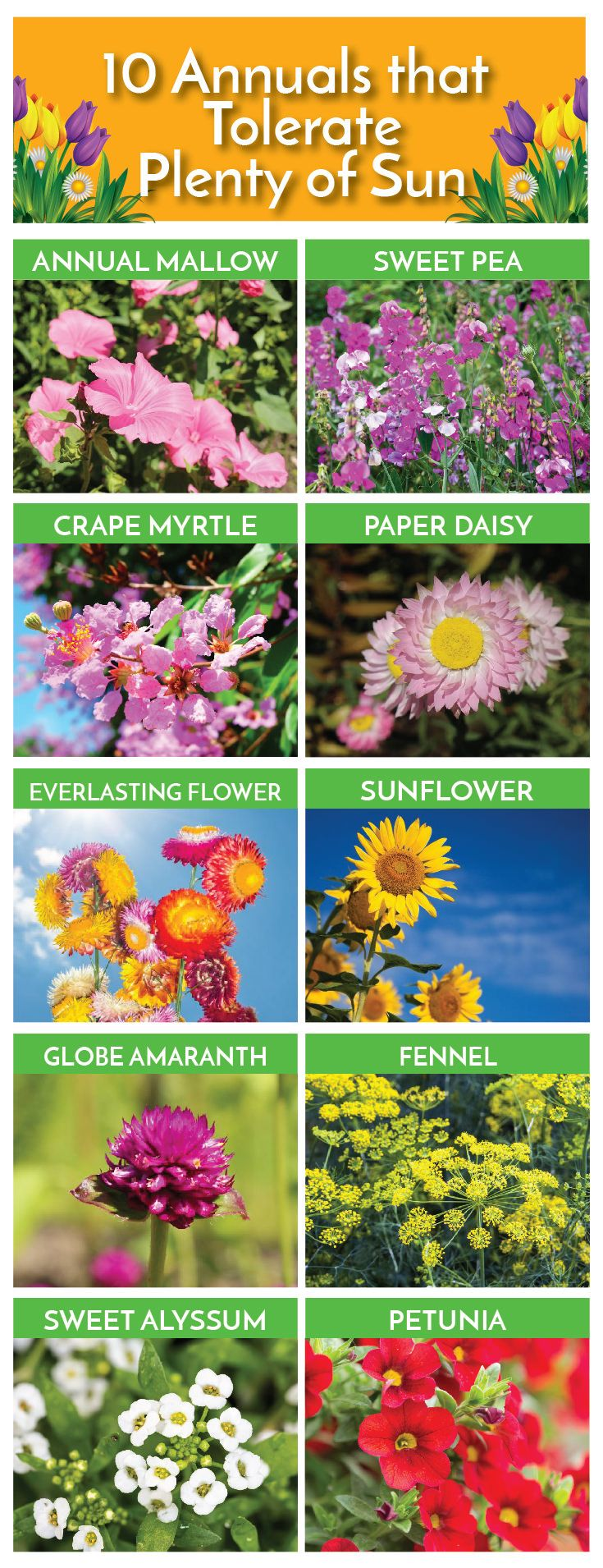 Outdoor flowers that like sun - 59 Annuals That Thrive In The Sun A To Z List With Photos