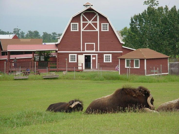 Musk Ox farm..., Palmer, Alaska; I've been in Palmer but nobody thought to tell me of the musk oxen there.  Darn!...got to scratch the little calfs forehead;  so sweet.