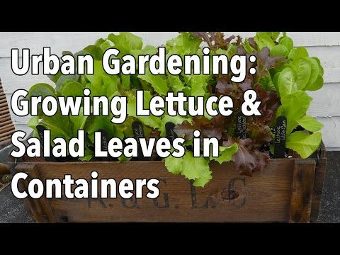 how to grow lettuce in your house