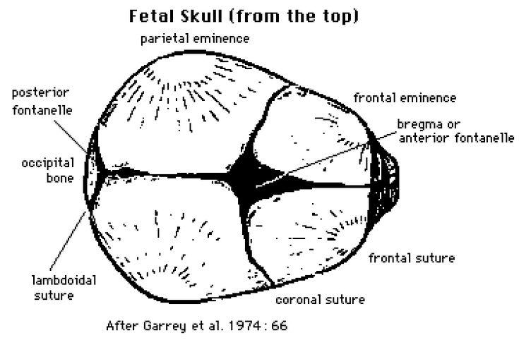 diagram of fetal head