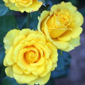 Smooth Buttercup: http://www.gardenexpress.com.au/shop/smooth-touch-thornless-roses/