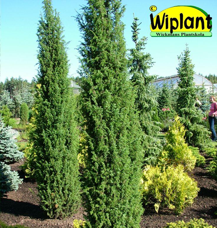 Juniperus comm. 'Suecica', Pelar-en. Smal, tät form med hängande grenspetsar. Höjd: 2-3 m.