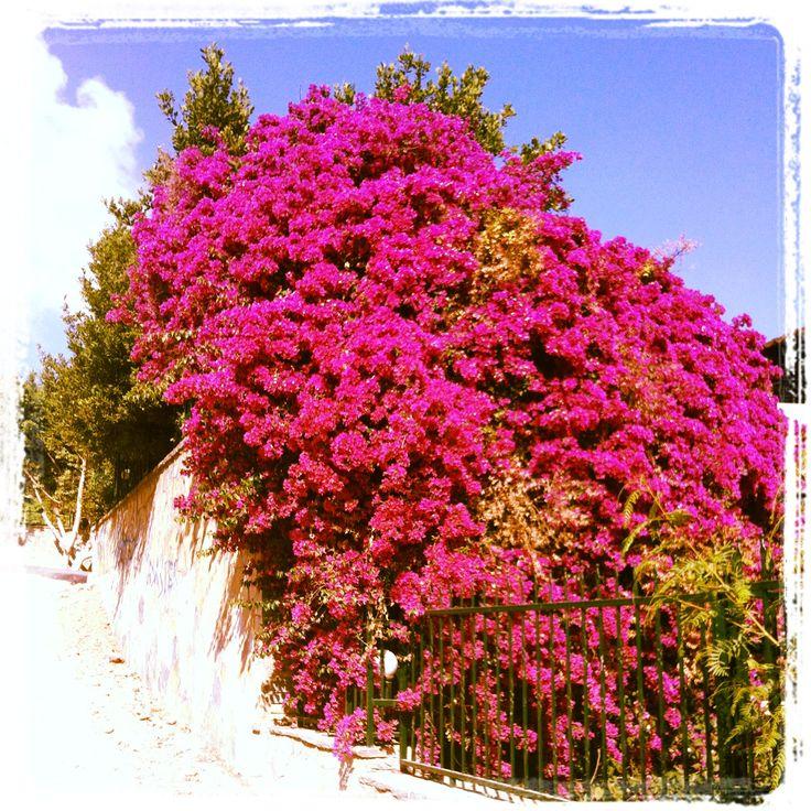 Flowers in bloom in Yalikavak, Turkey