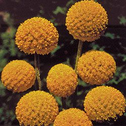 Flower, Drumstick | Seed Savers Exchange  non-gmo