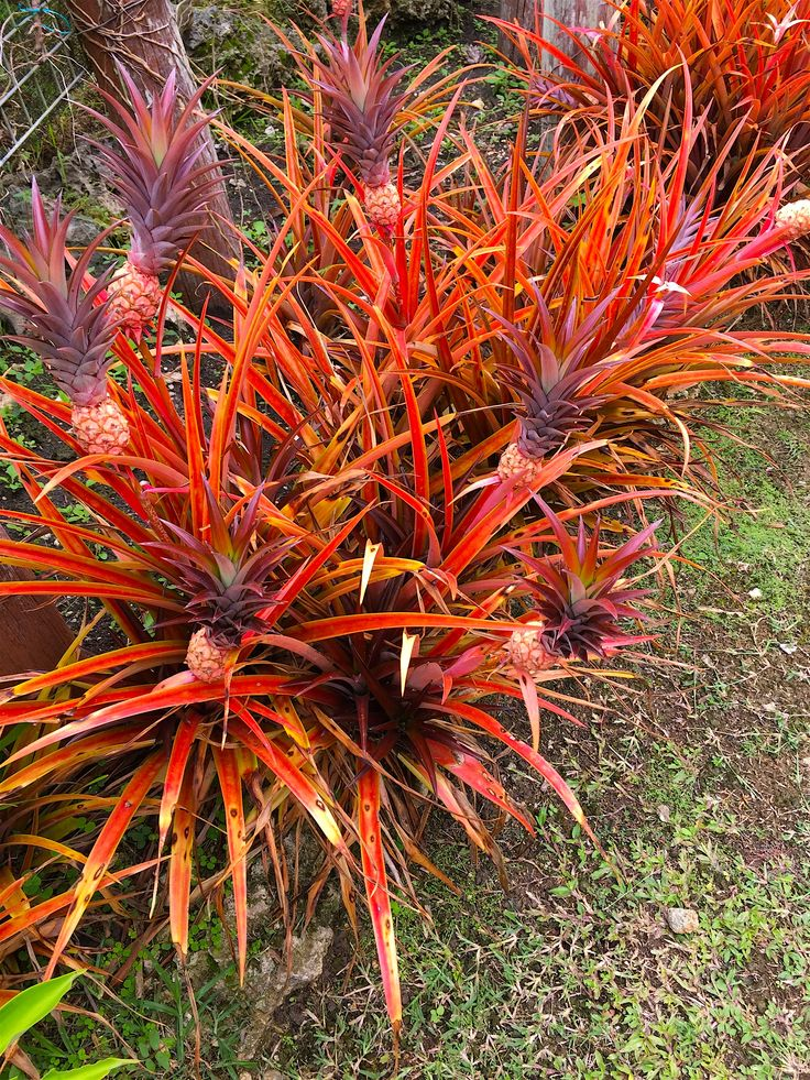 This unusual plant is a genus of bromeliad. Most of these are terrestrial plants which have 'pineapple-like' flowers. This picture was taken at Orchid World & Tropical Flower Garden, Barbados.