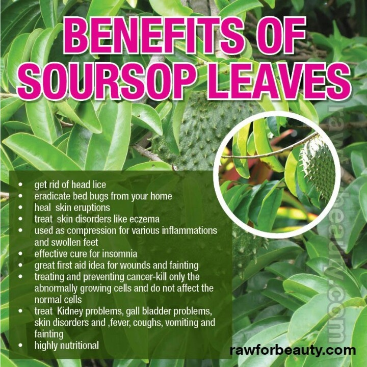 soursop guyabano tea Graviola is a tree prevalent in the rain forests of africa, south america, and southeast asia the fruits, also known as soursop, are consumed as food the leaves and stems are used in traditional medicine for symptoms associated with inflammation and infection.