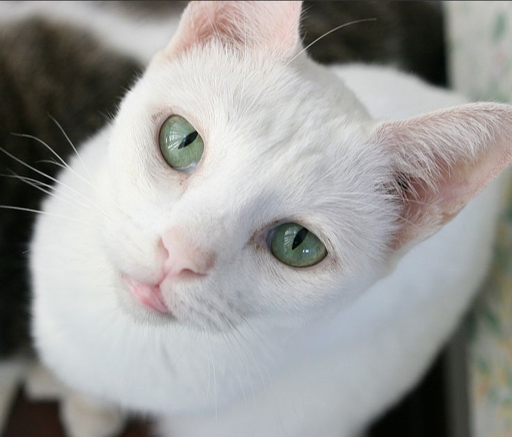 The Russian White is a breed of cat created in 1971, derived from the Russian Blue. It is pure white, svelte, elegant, with all the appearances, and the charming characteristics of the Russian Blue, including the beautiful vivid green eyes.