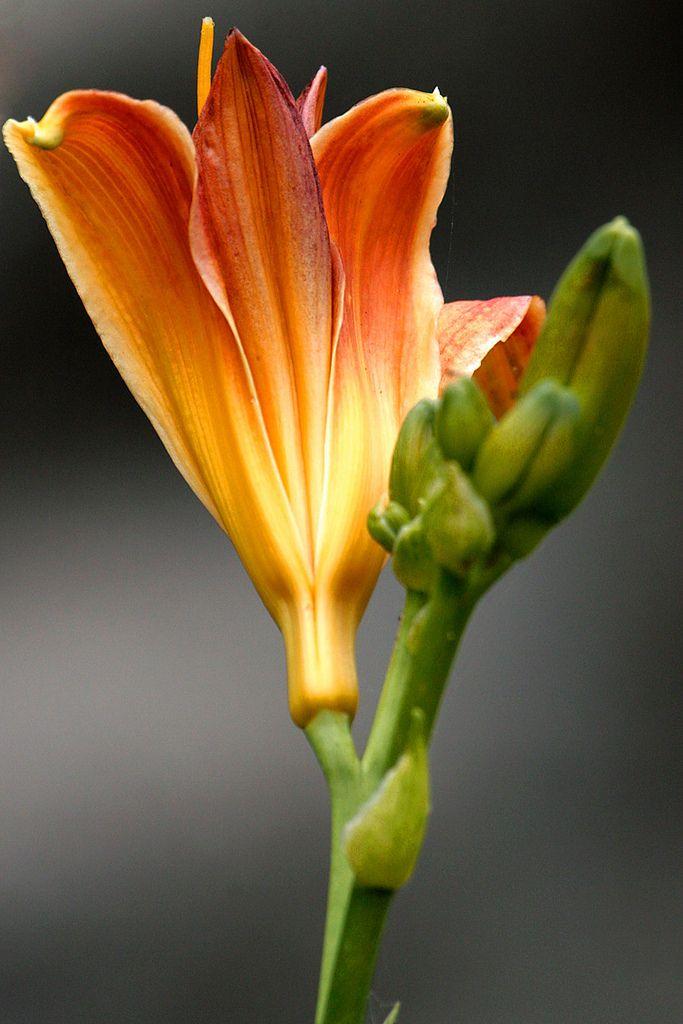 Wild Lily, ne México llamadas Lirios