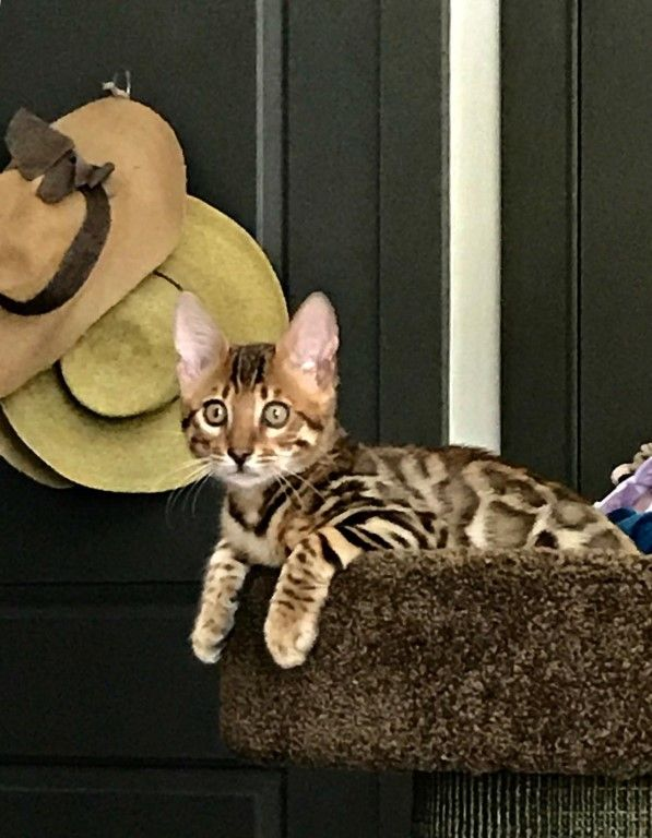 Bengal Cats For Sale In Nc Bengal Cat Bengal Kitten Bengal Kittens For Sale