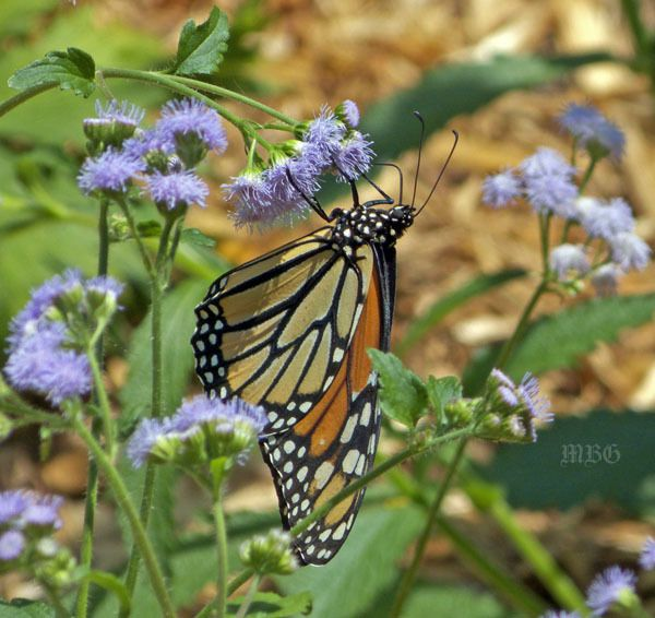 Erfly Plants List Flowers And Host Plant Ideas Gardens