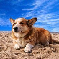 #dogalize Razas de Perros: Corgi galés de Cardigan caracteristicas #dogs #cats #pets