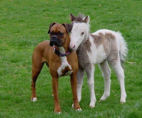 Boxer and a mini pony are the best