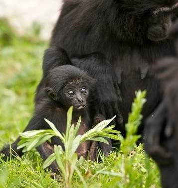 Shay Gibbon, our famous Agile Gibbon baby at Fota Wildlife Park