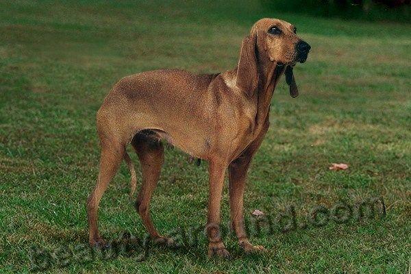 Гончие собаки и их виды (45 фото) | Гончая собака, Гончая ...