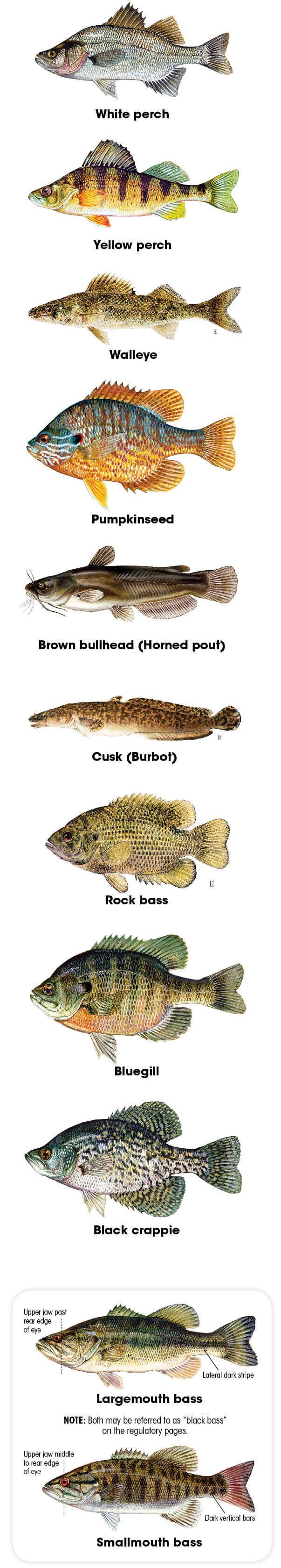 Illustrations, this page: Landlocked Atlantic salmon, American shad, Rainbow smelt ©NHFG Victor Young; Brown trout, Rainbow trout, Chain pickerel, Brook trout ©Duane Raver; Northern pike, Round and Lake whitefish ©Ellen Edmondson (Image courtesy of the New York State Department of Environmental Conservation. All rights reserved.);