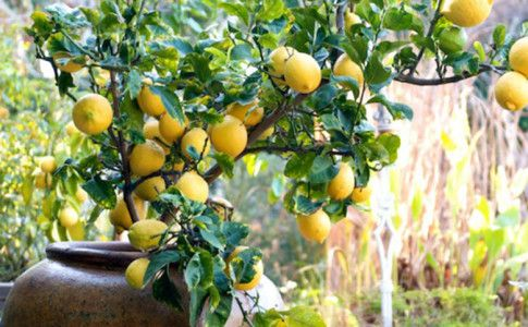 #limoni#vaso Tiziano Codiferro Master Gardener