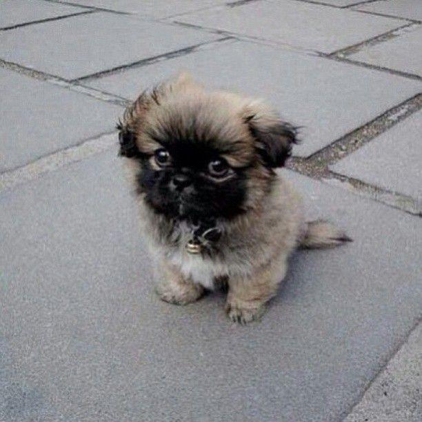 adorable #Pekingese puppy