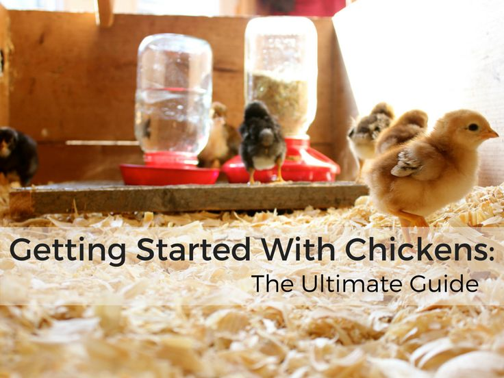 """In this article, I'll answer 18 of the most common questions asked for getting started with Chickens. For Common questions from sourcing your supplies to picking the right breed, this is the ultimate """"go to"""" guide for getting you off the ground and running! Towards the end of of the article, I'll offer my """"Getting …"""