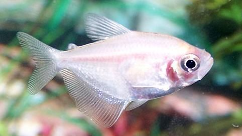 White Skirt Tetra | White Skirt Tetras