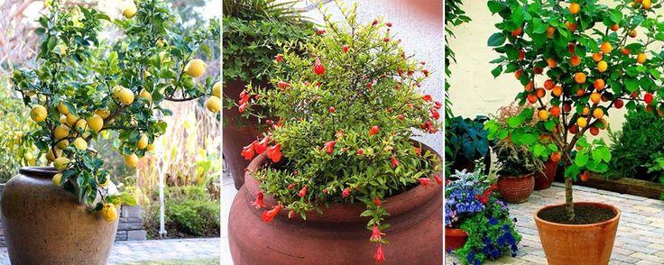Veja algumas árvores que vão te oferecer frutos fresquinhos e saudáveis. Pitangueira - Própria para clima quente e úmido, a pitangueira fica bem em vaso, pr