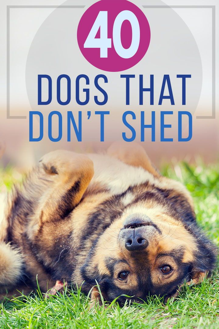 40 Hypoallergenic Dog Breeds that Don't Shed!... Let's