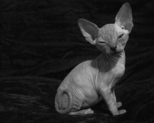 Tres bien Cat looks shaved in spots